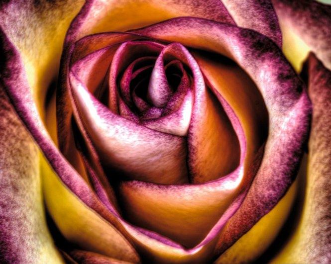 rose 11 crop 1 copy