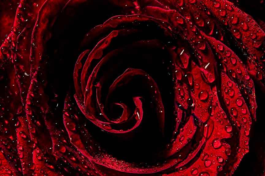 rose 2 LR